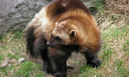 Have You Ever Seen a Wolverine?