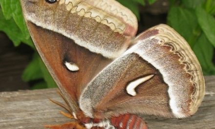 Ceanothus Silk Moth: A Beautiful Moth From A Color Changing Caterpillar.
