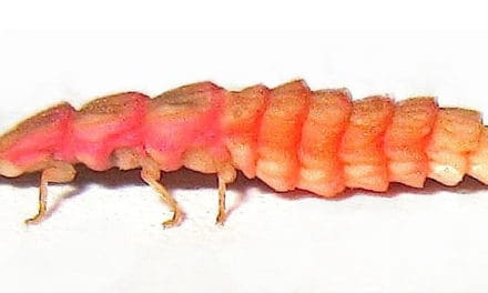 California's Pink Glowworm