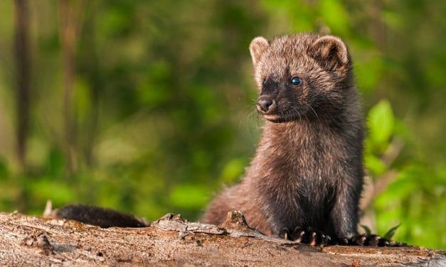 Fisher- The Porcupine Predator
