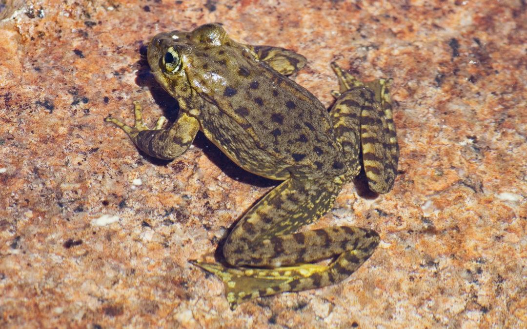 Sierra Nevada Mountain Yellow-Legged Frog
