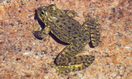 Sierra Nevada Mountain Yellow-Legged Frog