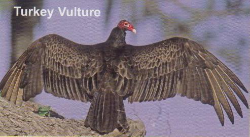 Turkey Vulture… Nature's Rebel