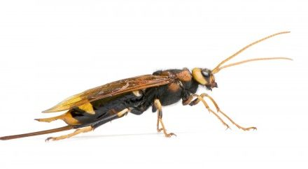 Wood Wasps…OH BOTHER