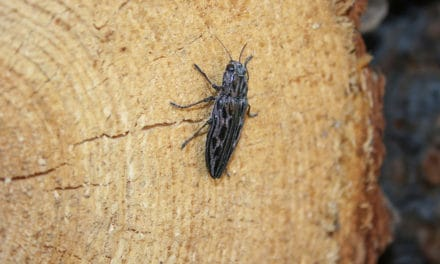 Western Sculptured Pine Borer