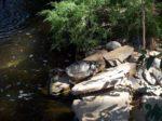 Sierra Safari Red eared Slider Turtle