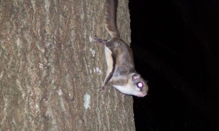 Northern Flying Squirrel  By Melissa Wynn