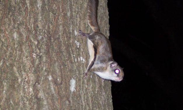 Northern Flying Squirrel  By Melissa Wynn