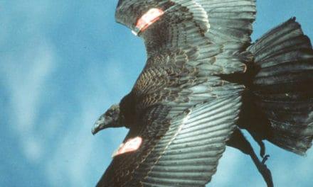 Condors Coming North?