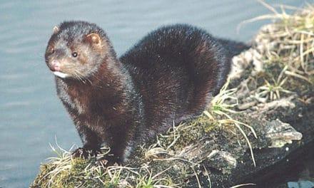 North American Mink