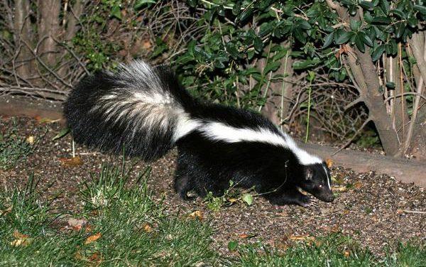 The Sassy, Stinky Skunk