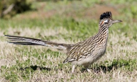 Greater Roadrunner..Beep Beep