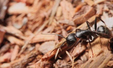 Conquering Carpenter Ants