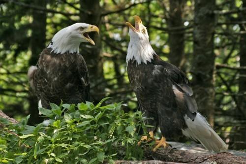 We Brake for Bald Eagles