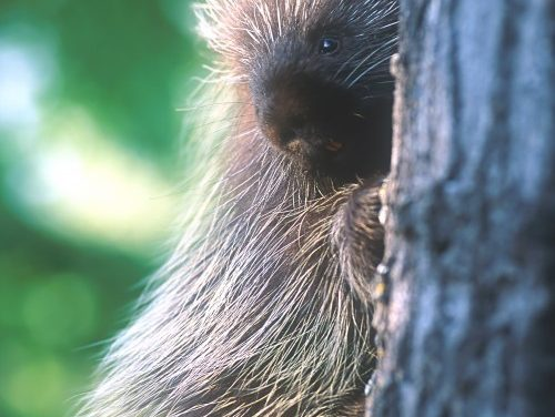 Where Are The Porcupines?