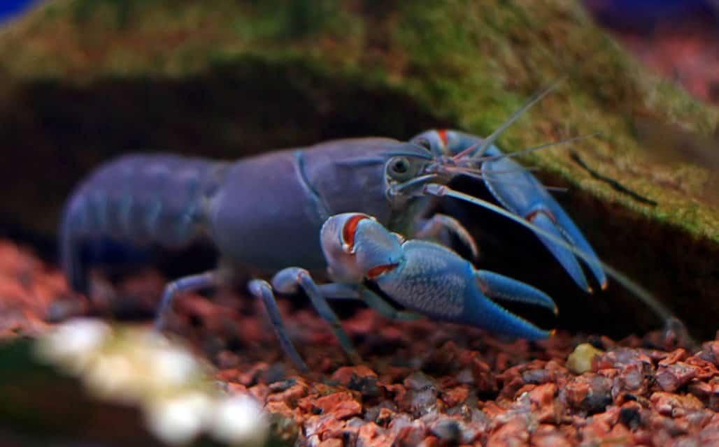 Crawdads, Crazy Crustaceans of the Creek
