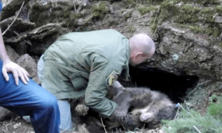Rescued Bear Cub Returns to Lassen National Forest