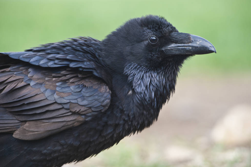 Curious About Crows – An Intelligent Bird!