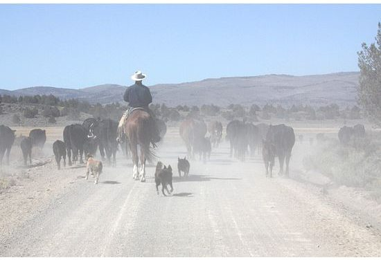 Working Dogs at Five Dot Ranch