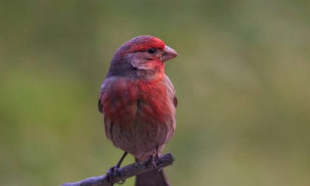 Purple Finch, Pretty in Pink