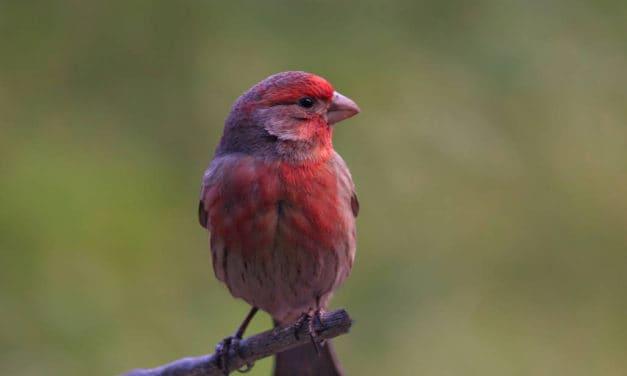 Purple Finch, Pretty in Pink