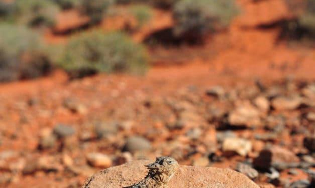 Northern Desert Horned Lizard