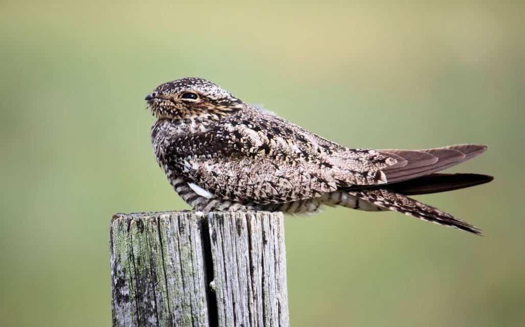 Common Poorwill, Strange Bird