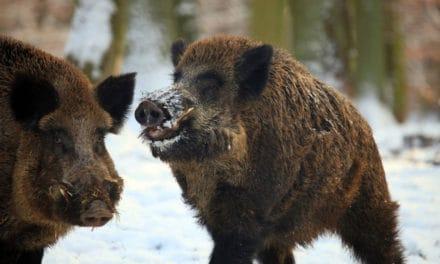 Wild Boar, Spunky Swine