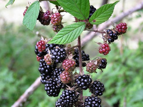 Blackberry Picking Tips and Tools