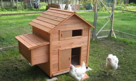 Chicken Care Basics