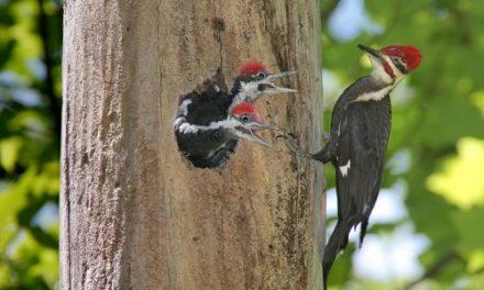 Woodpeckers Fabulous Feather Fashion