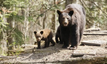 WHEN BEARS SLEEP, Cubs Arrive
