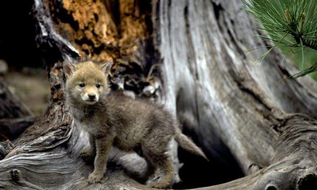 Spring Babies Of The Sierra