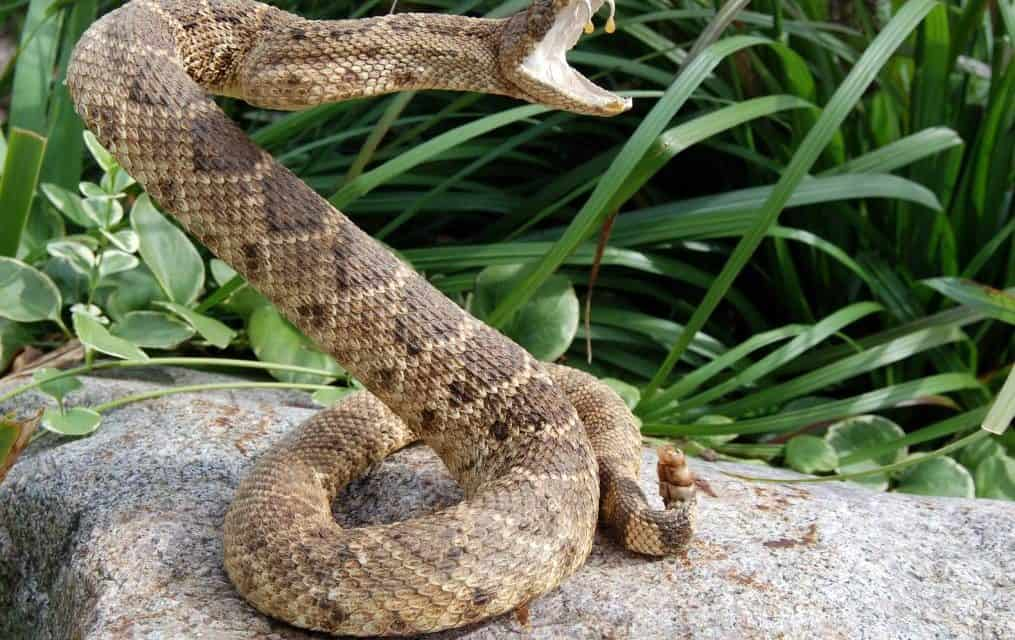 Venomous Vipers Of California
