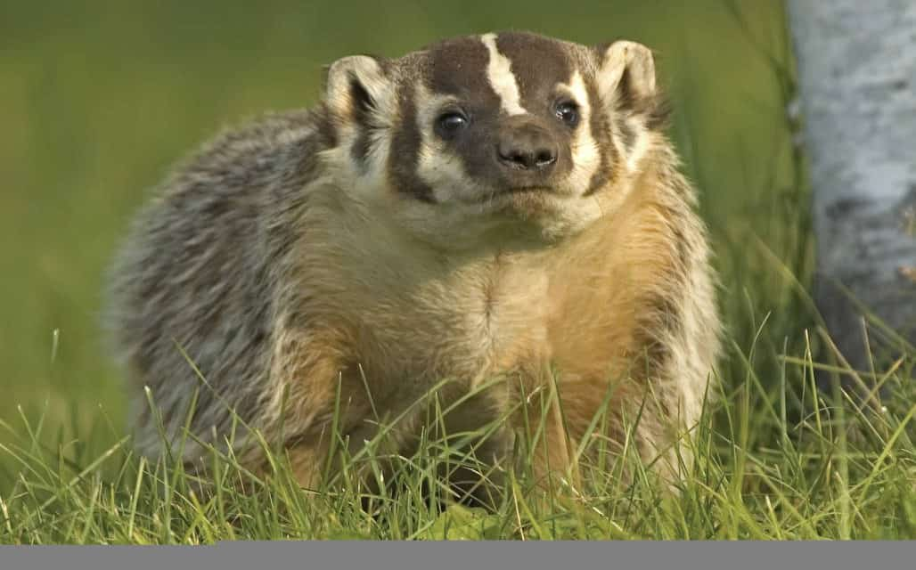 The American Badger