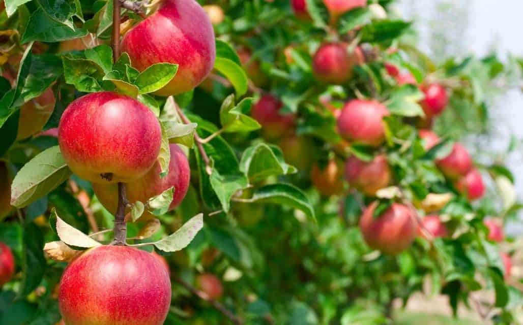 The Manton Valley Apple Festival