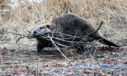 North American Beaver the Busy Builder