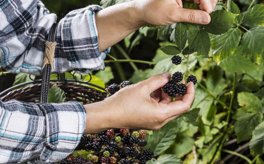 Finding Wild Blackberries