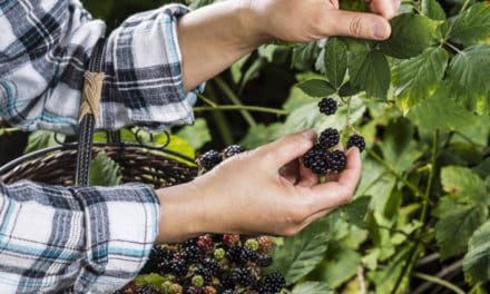 Finding Wild Blackberries