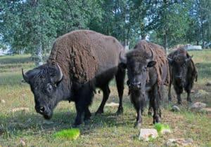 Buffalo4Three buffalo