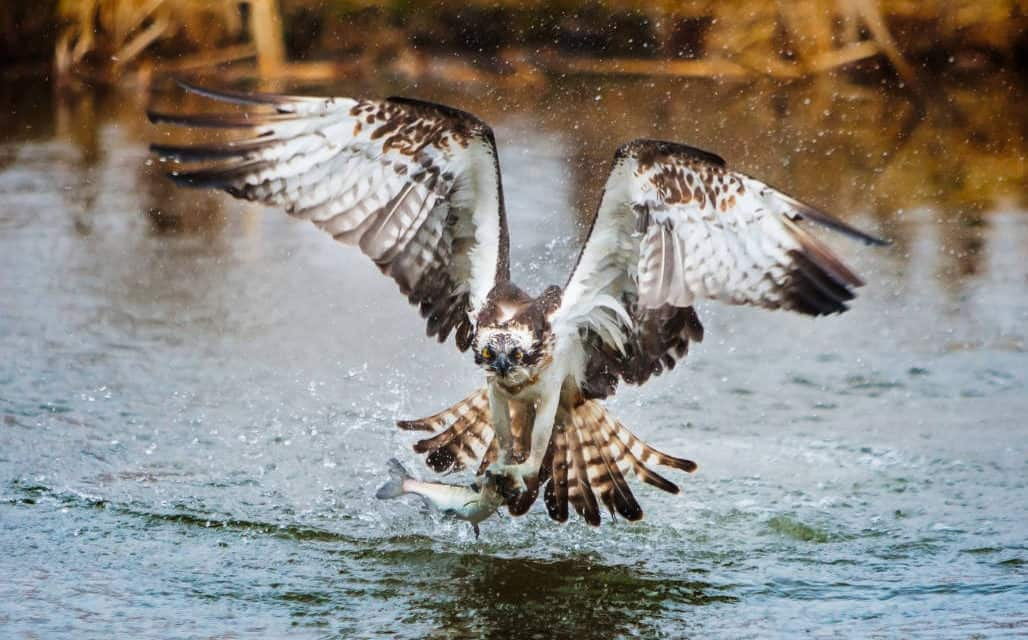 Raptor rivalry fighting over fish bald eagle vs osprey for Osprey catching fish