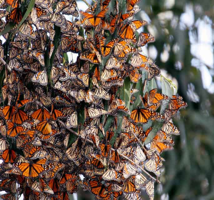 The Marvelous Migration Of The Monarch Butterfly