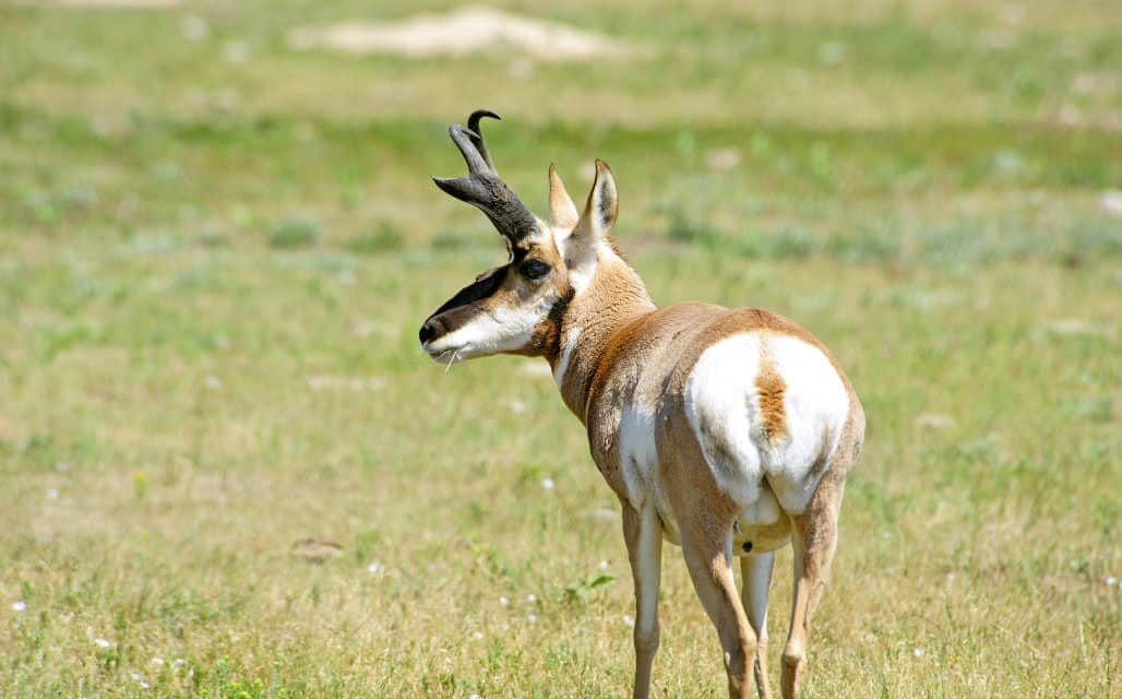 American Pronghorn One Of A Kind