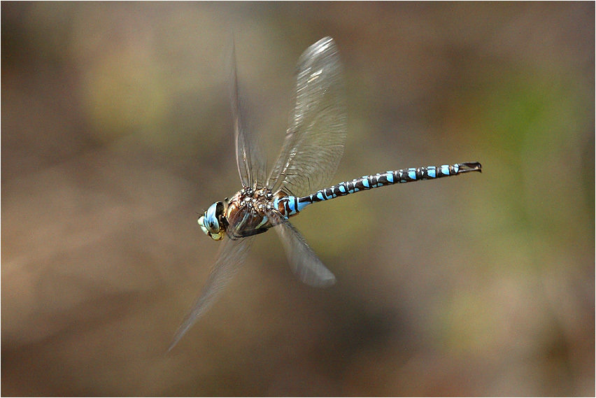 Four Local Dragonflies