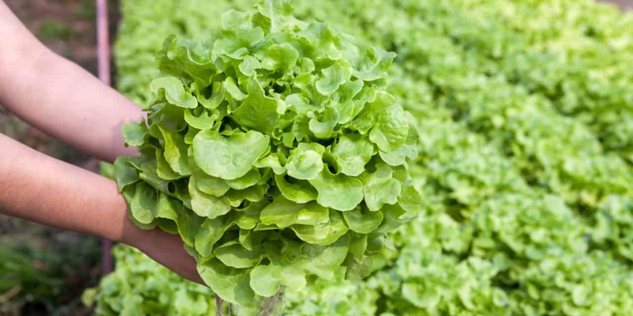 Hydroponic Gardens Provide Veggies Year-Round