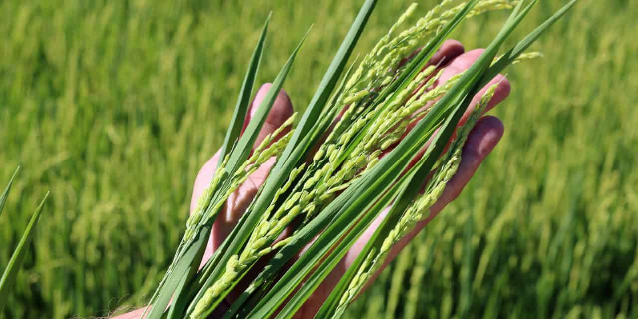 RICE – A TINY GRAIN WITH AN IMPRESSIVE IMPACT