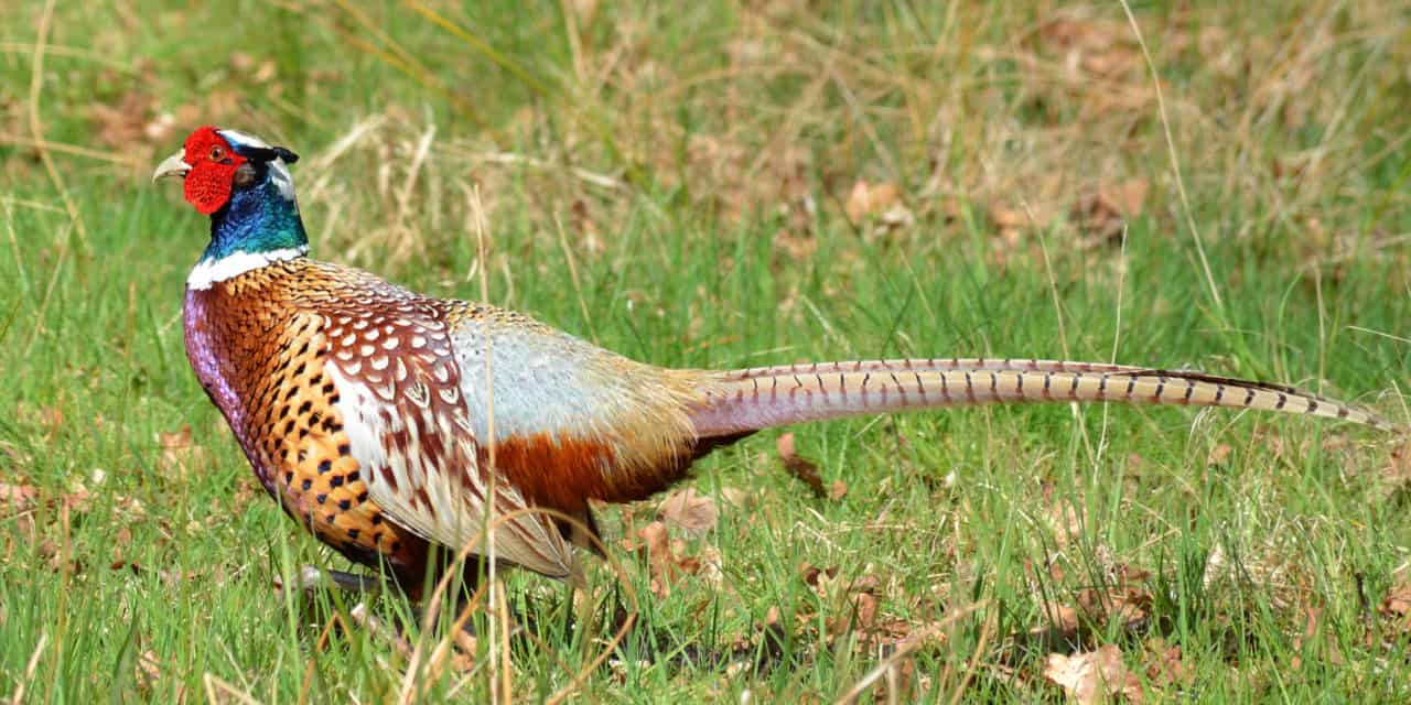 The Regal Ring- Necked Pheasant