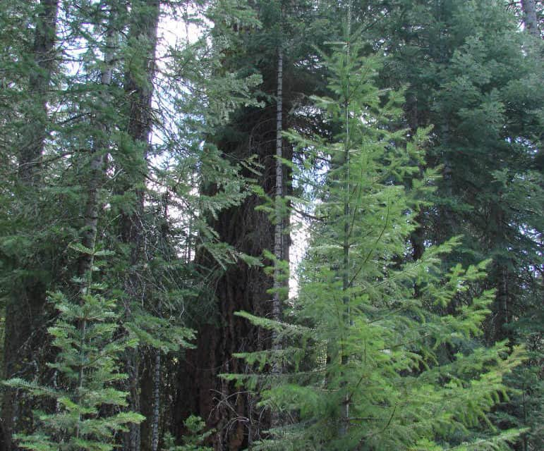 SIERRA PACIFIC INDUSTRIES- Modern Forest Management for a Sustainable Future