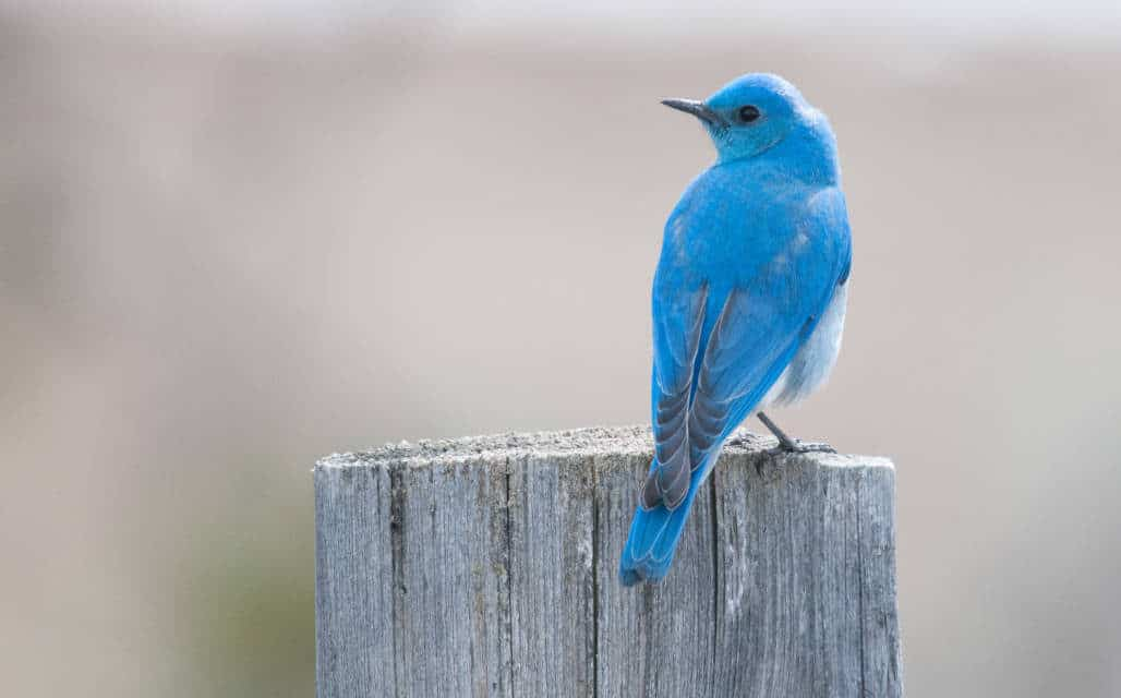 Marvelous Mountain Bluebirds