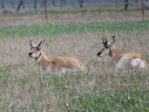 robertiranchpronghornantelope